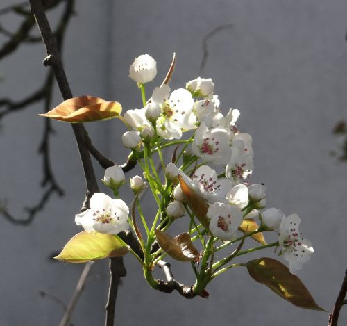komoi pear apple