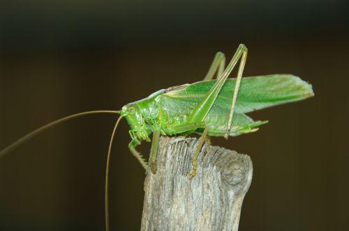 konik grasshopper feb