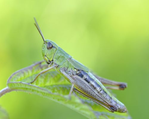 konik grasshopper insect