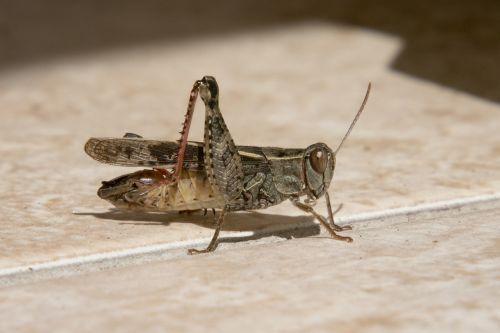 koník grasshopper insects