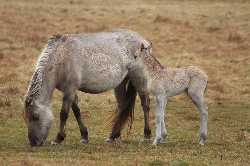 konik horses foal seahorses