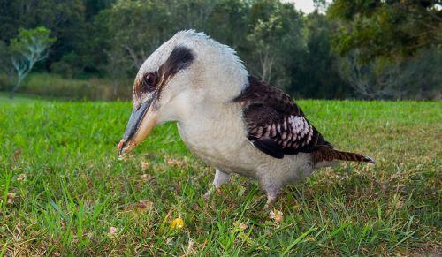 kookaburra bird standing