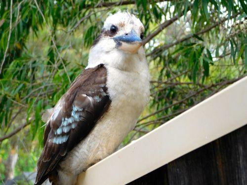 kookaburra bird perched