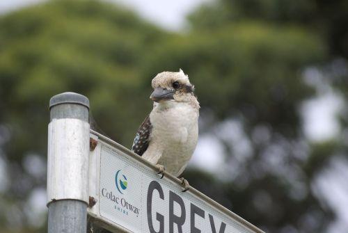 kookaburra sacred kingfisher australia
