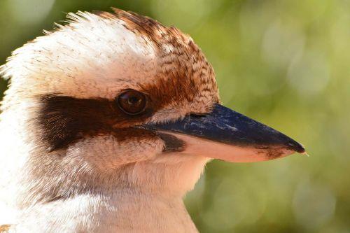 kookaburra bird fauna