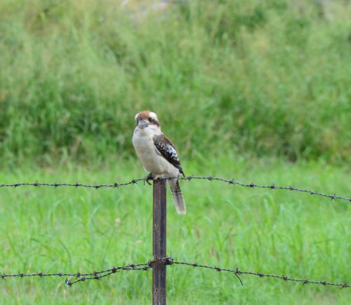 kookaburra bird fence