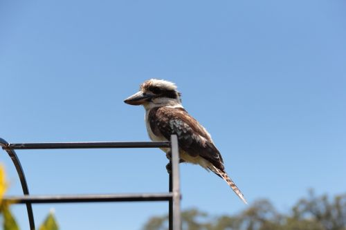kookaburra bird australian