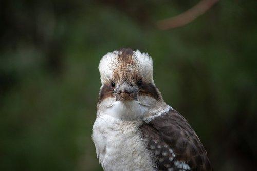 kookaburra  bird  australia