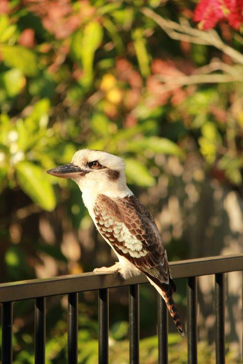 kookaburra wildlife australian