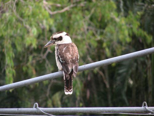 kookaburra australia australian native bird