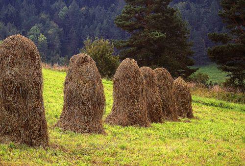 kopki hay air drying grass hay