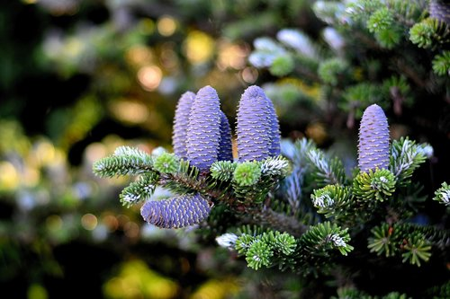 korea fir  fir tree  pine cones