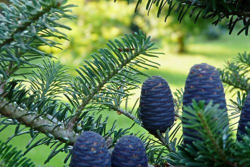 korean fir garden needle