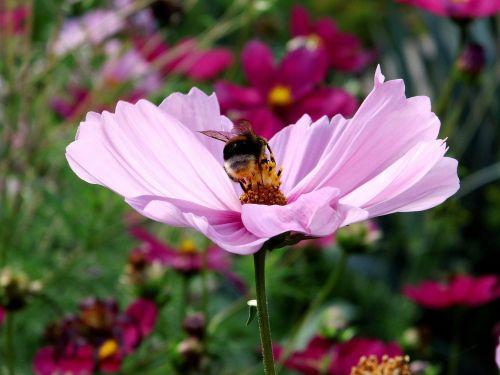 kosmee blossom bloom