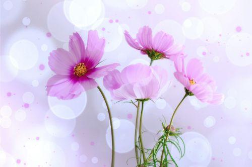 kosmee flowers lichtspiel