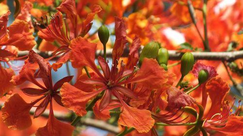 krishnochura,gėlė,raudona,šeriai,aštrus,žydi,meilė,santuokos,santuoka