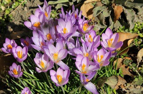 krokus  crocus  spring flowers