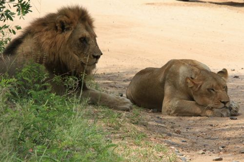 lions leone leõs mating