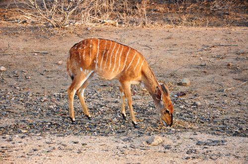kruger africa bambi
