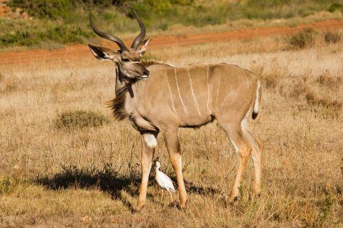 kudu animal world south africa