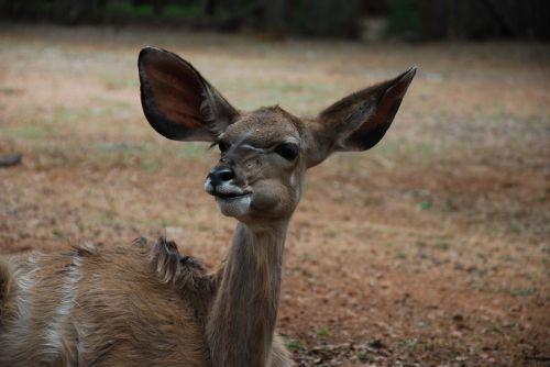 kudu young animal