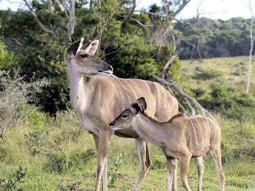 kudu  family  africa
