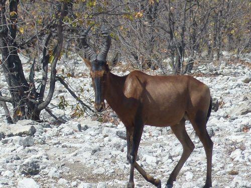 kudu africa safari