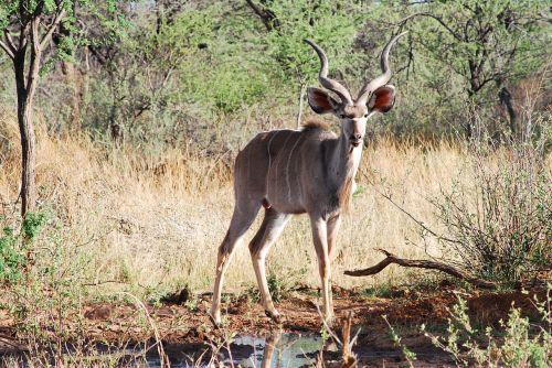 kudu antelope horned