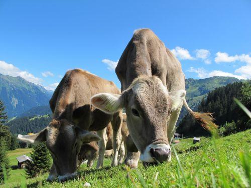 karvės, karvė, ganykla, austria, mėlynas, dangus, kraštovaizdis, karvės karvės ganyklos austrija