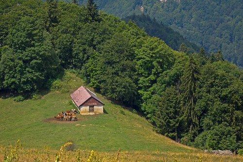 kuherde  alpine pasture  pasture