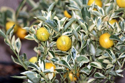 kumquat  fortunella  food