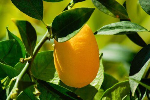 kumquat,citrusiniai,citrina,citrinmedis