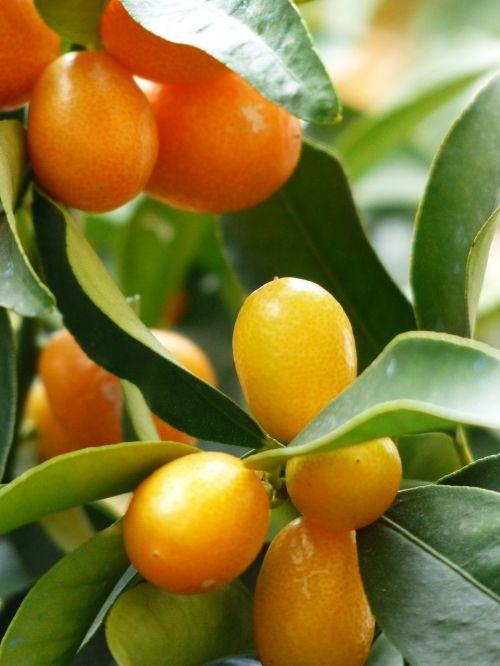 kumquats tree branch