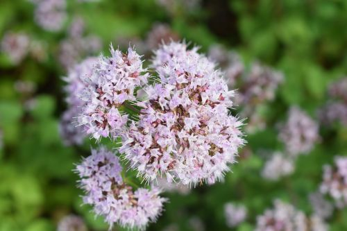 kungsmynta oregano herbs