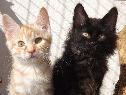 kurilian bobtail cat kitten