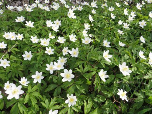 Blooming Anemones
