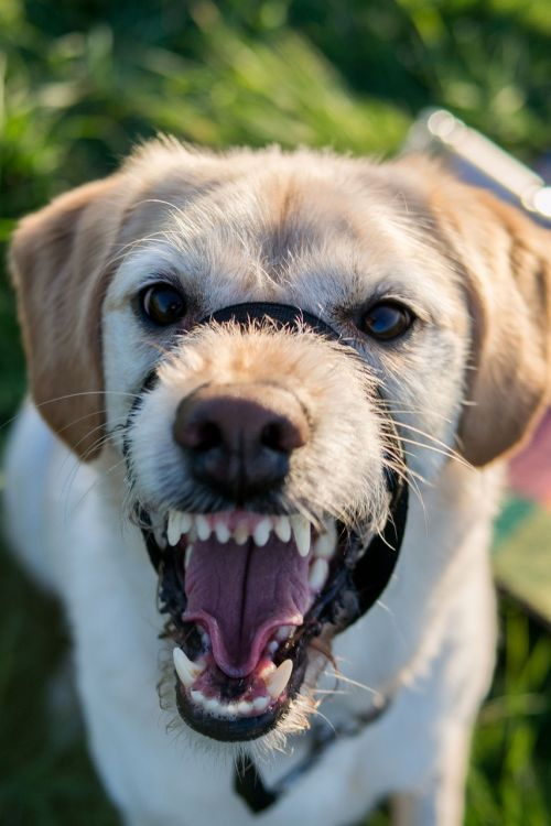 labradoodle dog labrador