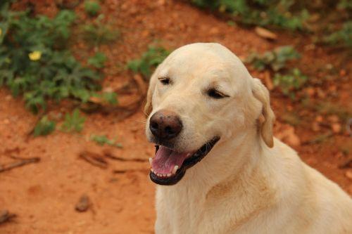 labrador canine pet