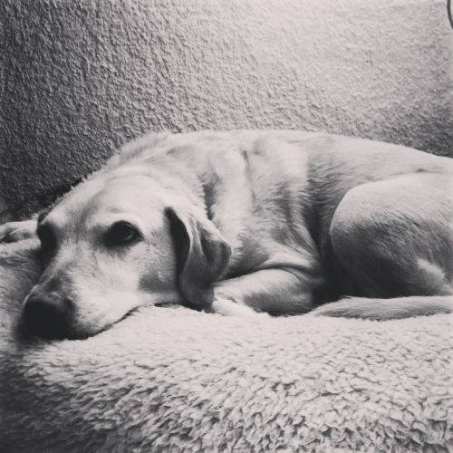 labrador laziness black and white