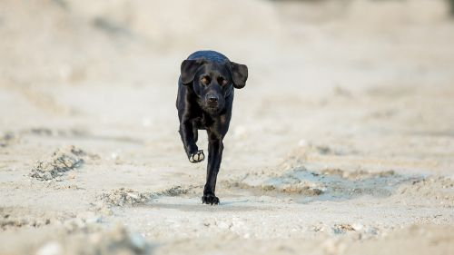 labrador dog run