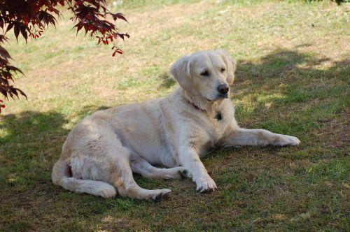 labrador dog large