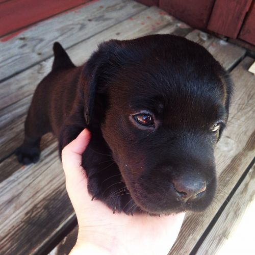 labrador puppy black puppy