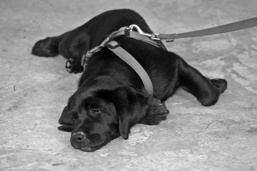 labrador dog leash on leash