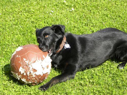 labrador dog football