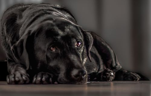 labrador black dog