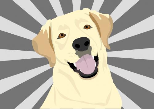 labrador dog pet