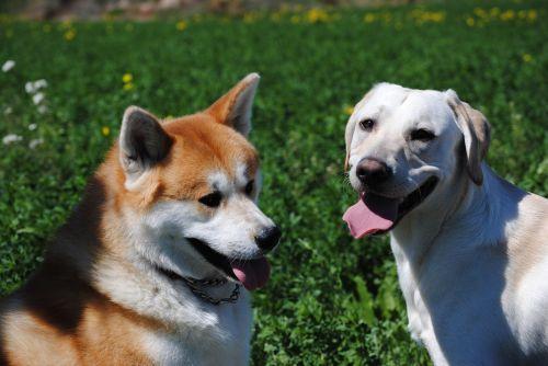 labrador akita dogs