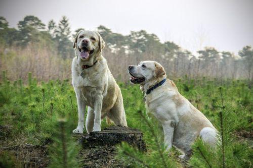 labrador breed dogs