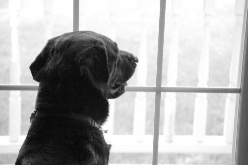 labrador retriever window missing