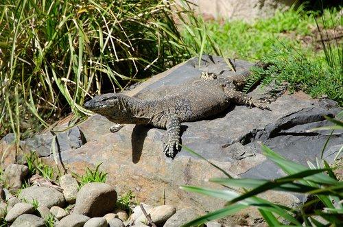 lace monitor  goanna  australian